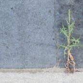 Plants Defy Concrete Outside Sudbury Post Office